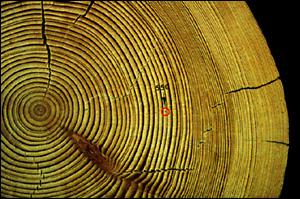 טבעות בגזע עץ. מסומנת שנת 550 לספירה. ltrrr